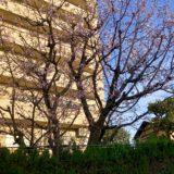 太田先生・銀杏と桜🌸